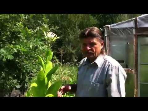 Выращивание табака, моя маленькая табачная плантация