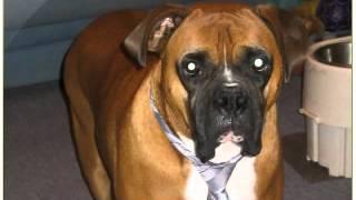 A Boxer Dog Rescue