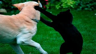 Video Funny Cats And Dogs - Funny Cats vs Dogs - Funny Animals Compilation download MP3, 3GP, MP4, WEBM, AVI, FLV Maret 2018