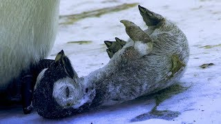 Emperor Penguin Mourns the Death of Chick | BBC Earth