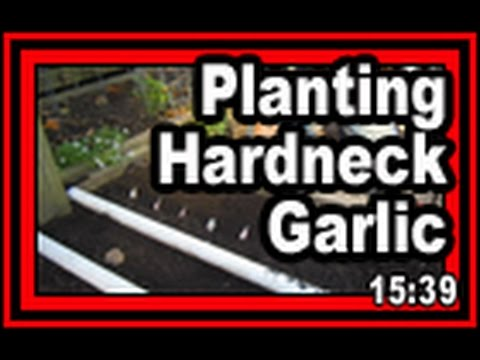 Planting Hardneck Garlic - Wisconsin Garden Video Blog 736