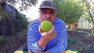 Странный фрукт от маклюры адамово яблоко, настойка и мазь
