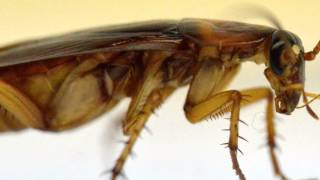 Roaches: How They Get Clean