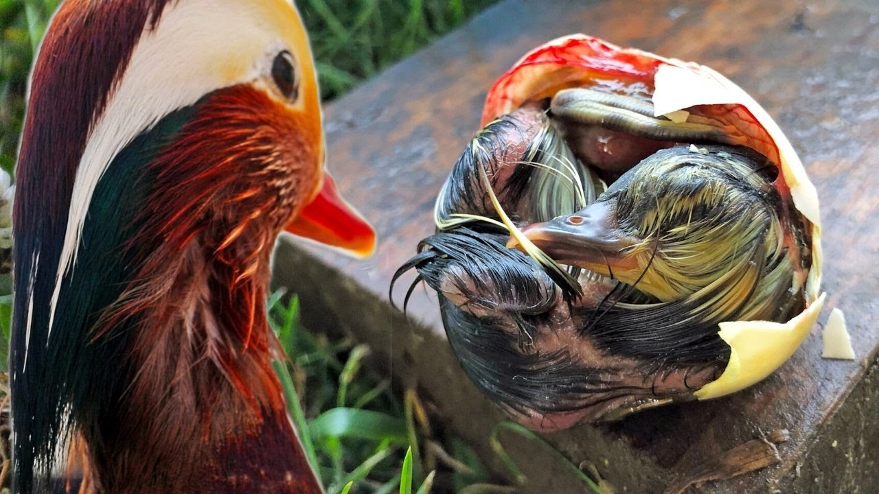 The rarest duckling on eBay: hatching their babies