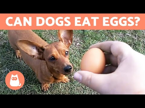 Pet Corner - Can Dogs Eat EGGS? - Raw, Cooked or With Shell?