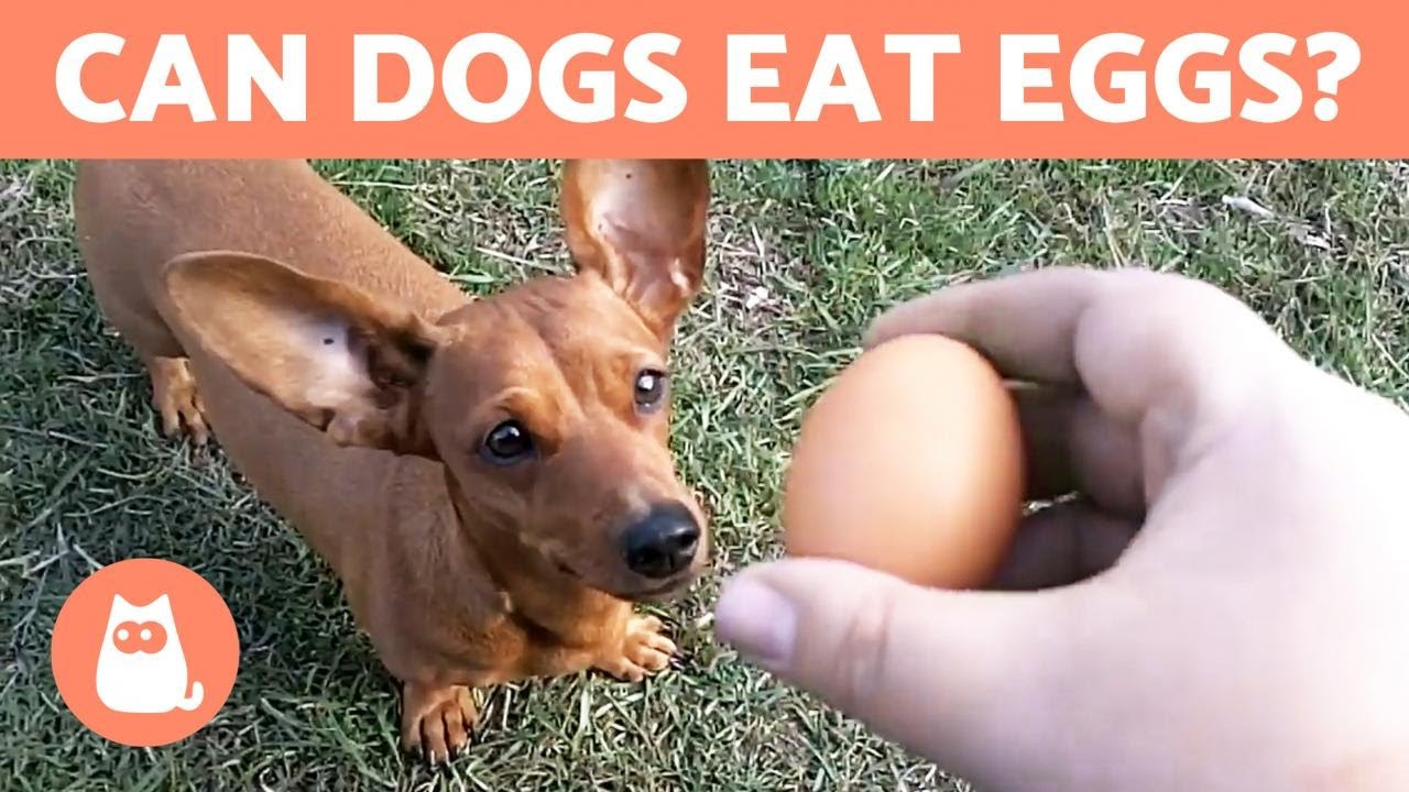 Can Dogs Eat EGGS? - Raw, Cooked or