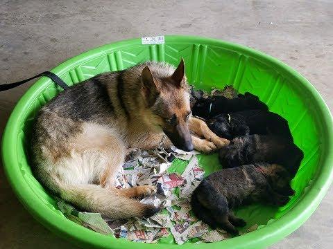 Zoey gives birth (German Shepherd)
