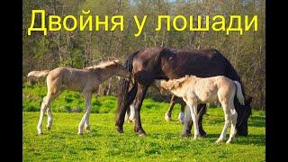 Родилась двойня у лошади!