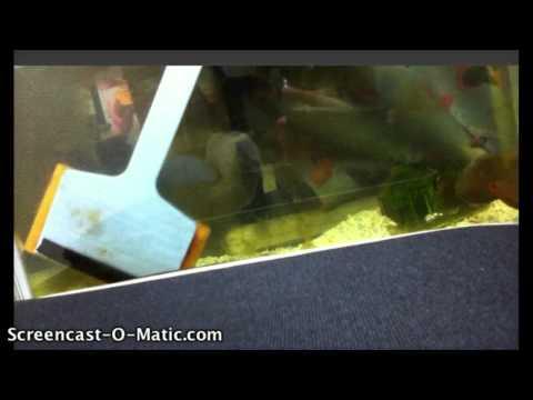 Cleaning an Oscar Fish Tank (glass)