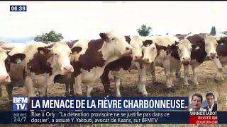 La fièvre charbonneuse menace les troupeaux des Hautes-Alpes