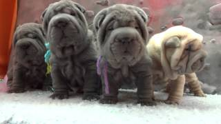 4 Weeks Old Blue Sharpei Pups And 1 Isabel