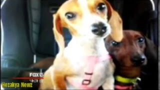 Graphic: Dog Sitter Caught On Surveillance Video Brutally Beating Helpless Dachshund To Death!!