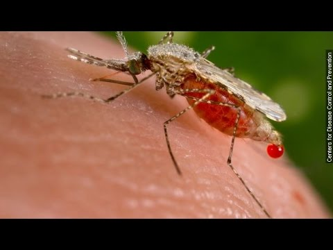 How Genetically Modified Mosquitoes Could Help Stop Malaria - Newsy