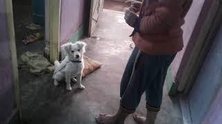 Indian spitz 5 month puppy tra…
