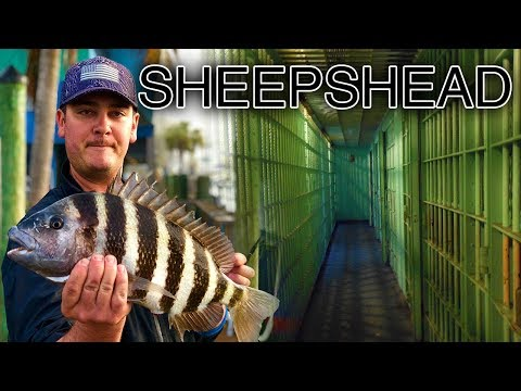 Catching Sheepshead Dock Fishing | Anna Maria Island Bradenton Florida