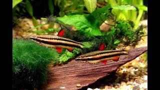 видео Нанностомус маргинатус (Nannostomus marginatus)