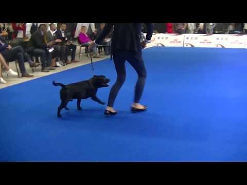 Staffordshire Bull Terrier EDS 2018