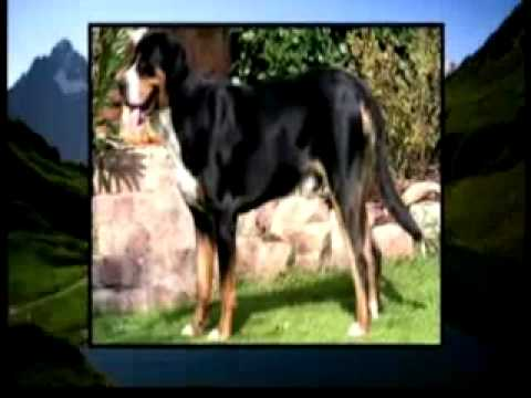 Dogs101 Bernese Mountain Dog