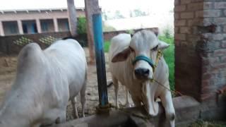 Qurbani bull dariy farm in narowal punjab pakistan