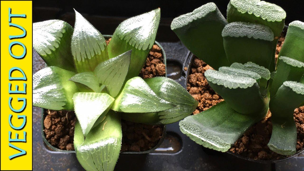HAWORTHIA SUCCULENT PLANT CARE WHEN HOW TO WATER TRUNCATA