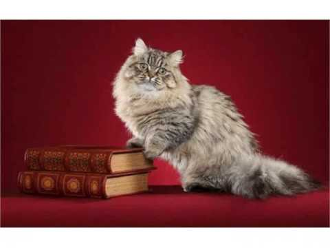 Napoleon cat minuet cat domestic hybrid cats