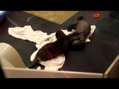 Giant Otter pups
