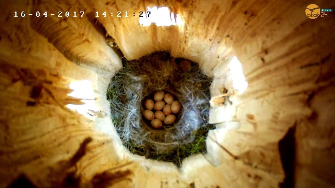 Bogatki mają już 10 jajek w dziupli lęgowej nad Soliną