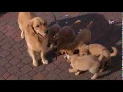Golden Retriever Puppies Fighting for Newspaper