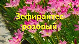 Зефирантес розовый. Краткий обзор, описание характеристик, где купить луковицы zephyranthus rosea