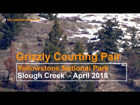 Yellowstone Courting Grizzlies in Slough Creek April 2018