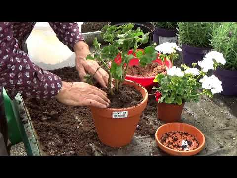 How to make geraniums flower in winter