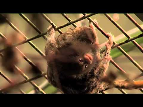 The world's tiniest monkey gives birth to even tinier babies!