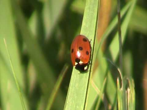 Seven-spotted Lady Beetle (Coccinellidae: Coccinella septempunctata) on Grassblade