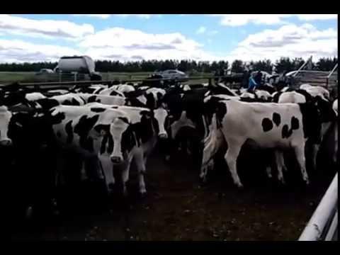 Продам корову в харьковская область olx. Ua в харьковская область. Продам телку 3 месяца черно-пестрая от высокоудойной коровы,торг. Объявлений olx. Ua харьковская область легко и быстро можно купить питомца.