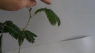 """""""Недотрожка"""" - растение, которое реагирует на прикосновение!"""