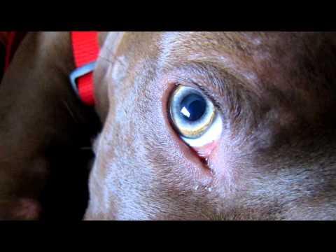 Pitbull's eyes