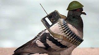 حمام الزاجل بطل الحرب والسلام عبيد العوني Homing pigeon