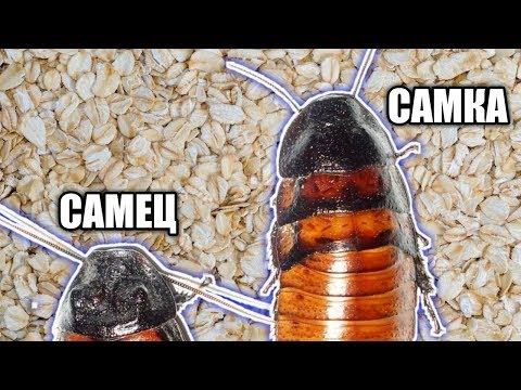Вопрос: Есть ли у тараканов половая принадлежность?