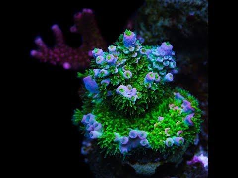 Reef A Palooza Orlando 2018 : Eye Candies of Reef A Palooza