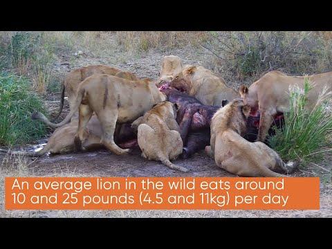 Ranger Insight | Lion Hunt