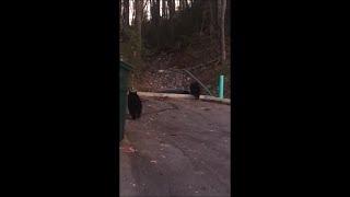 Group Of Black Bears Wandering Around A Neighbourhood Looking For Food