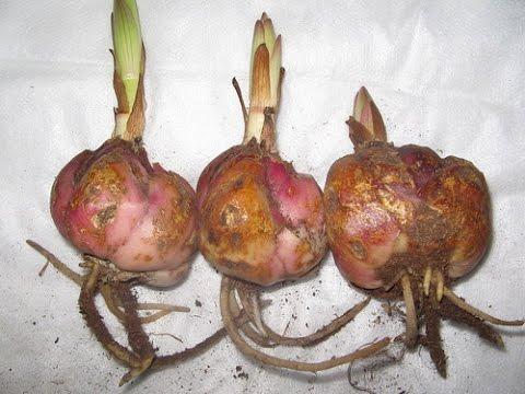 Хранение лилий до высадки в грунт. How do I store the bulbs lily.