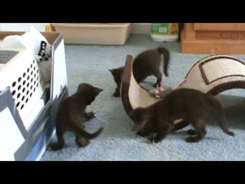 Havana Brown kittens