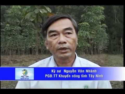 Kỹ Thuật Chăm Sóc Cây Cao Su ( Phần 2 )