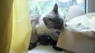 моя цейлонская кошка