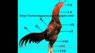 Memilih Ayam Aduan Istimewa!!