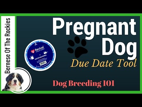 When is your pregnant dog due? (Our Favorite Tool)   Dog Breeding 101