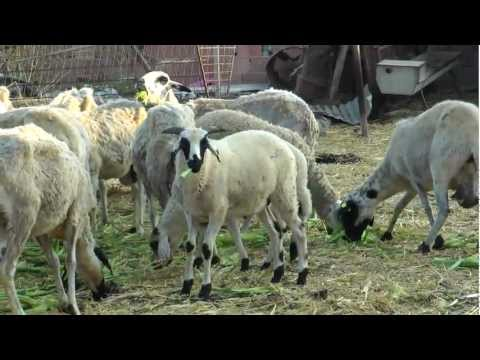 For Sheep Lovers Only Sheep being Sheep Filmed in Professional Quality HD