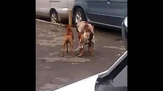 Dog fainted after having sex, Port Antonio Jamaica