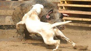 LOS PERROS MÁS GRANDES Y PELIGROSOS DEL MUNDO · MOST DANGEROUS DOGS